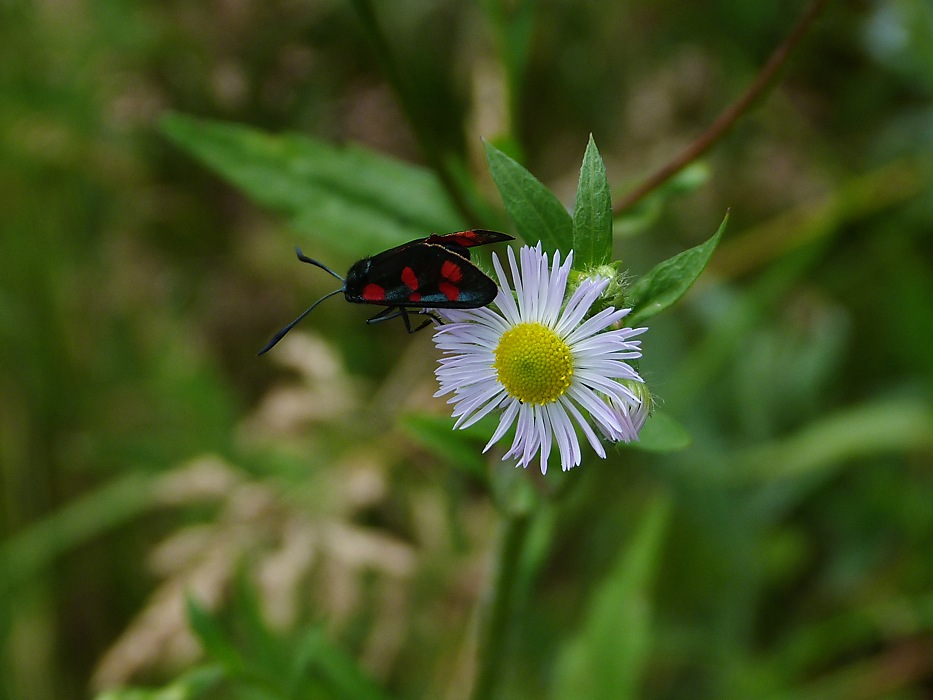 photoblog image Six-Spot Burnet Moth