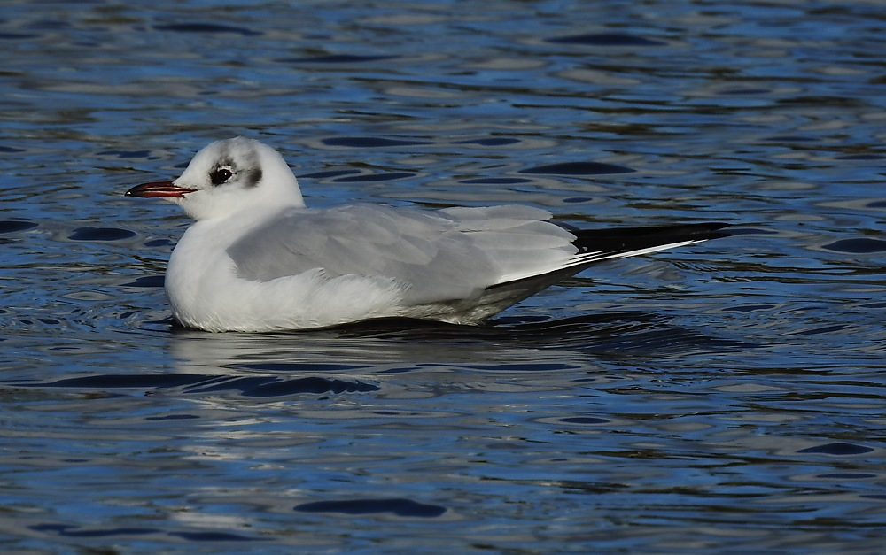 photoblog image Black-headed Gull in Winter Plumage