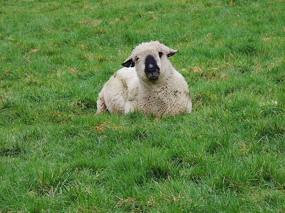 photoblog image Sheep Saturday