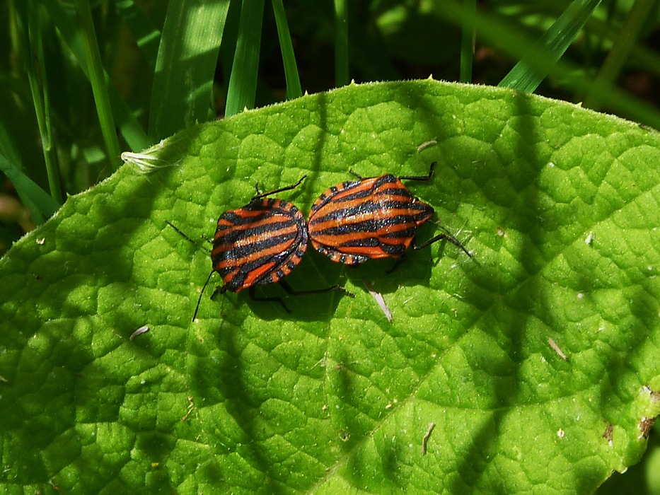 photoblog image Shield Bugs