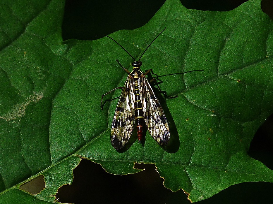 photoblog image Scorpion Fly