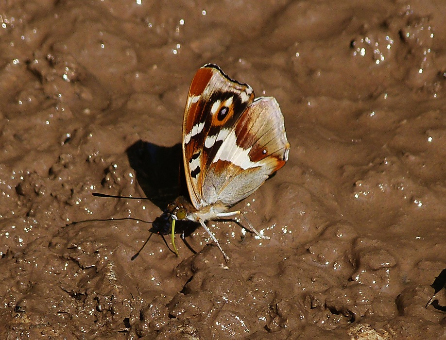 photoblog image Purple Emperor