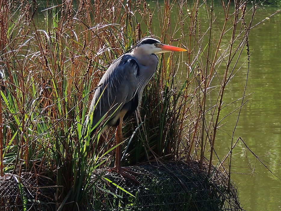 photoblog image That Old Heron Again