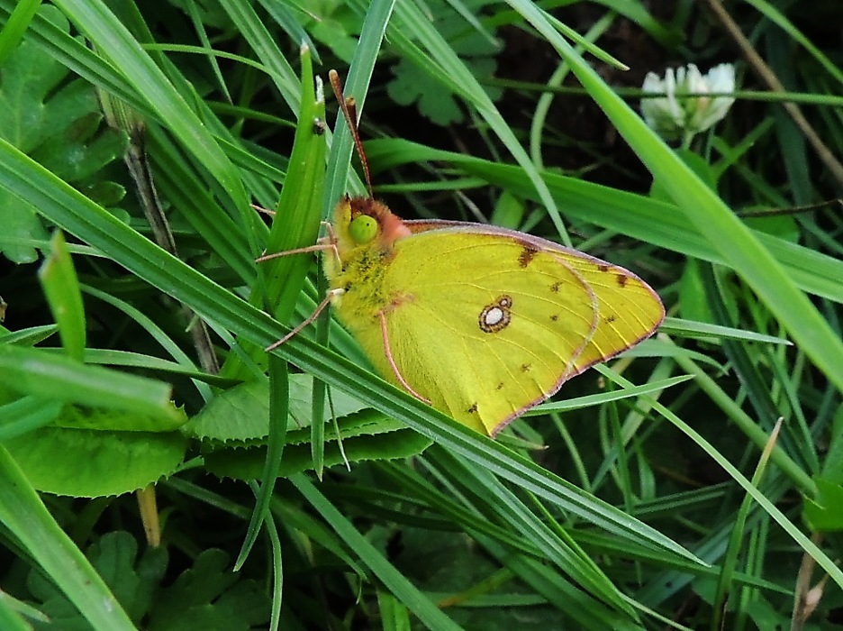 photoblog image Clouded Yellow
