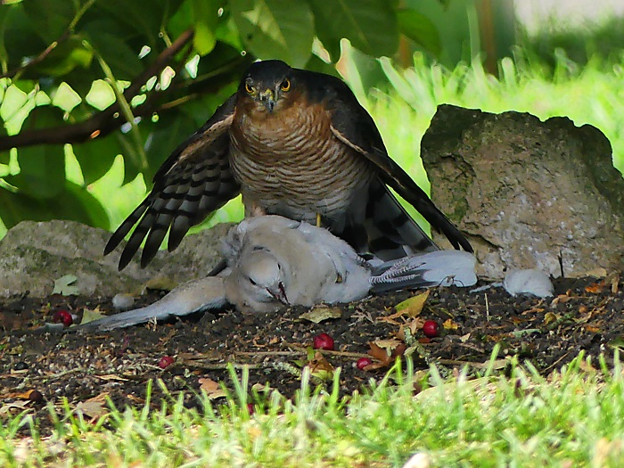 Sparrowhawk with Collared Dove