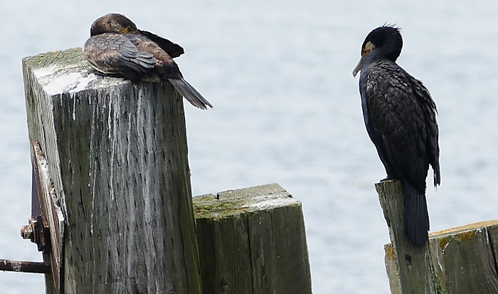 Sleeping Cormorants