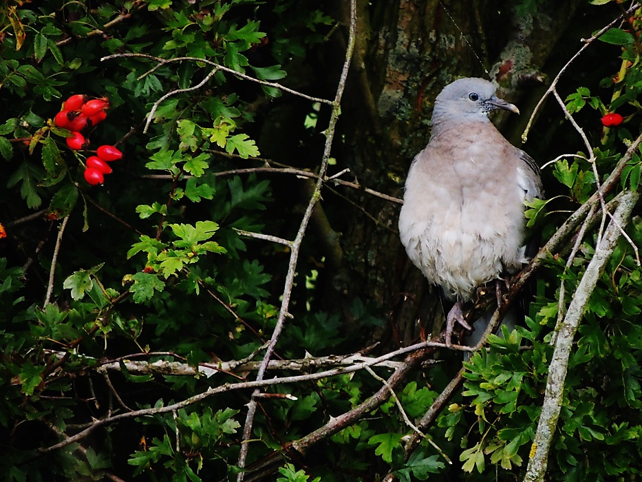 photoblog image Young Woodpigeon